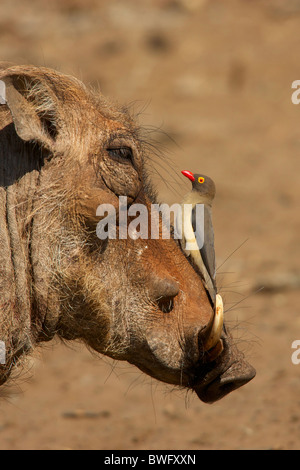 An Oxpecker on a warthogs snout, Isimangaliso,  Kwazulu-Natal, South Africa - Stock Photo