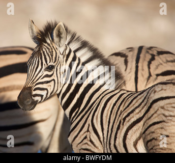 Burchell's Zebra (Equus quagga burchellii) foal with adults in background, Namibia - Stock Photo
