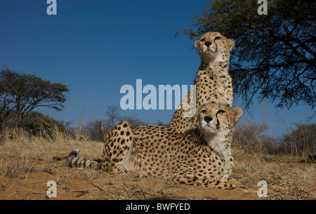 Two Cheetahs (Acinonyx Jubatus) sitting on ground, Namibia - Stock Photo