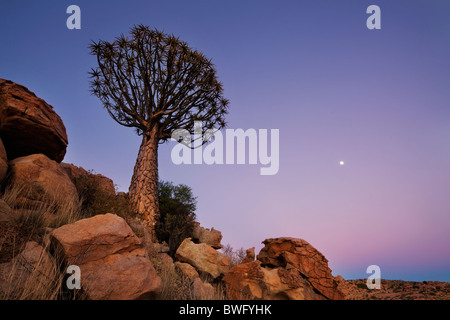 Wide view of a Quiver Tree at dawn with the moon rising in the sky. Richtersveld National Park, South Africa - Stock Photo