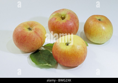 Domestic Apple (Malus domestica), variety: Berlepsch, ripe apples, studio picture. - Stock Photo