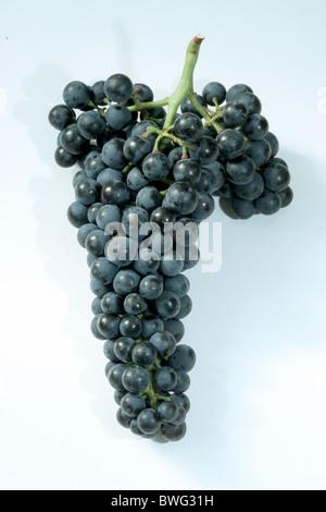 Common Grape Vine, Grape, Vine (Vitis vinifera), variety: Dornfelder, bunch of grapes, studio picture. - Stock Photo