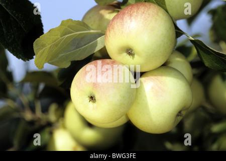 Domestic Apple (Malus domestica), variety: Blumberger Langstiel, fruit on tree. - Stock Photo