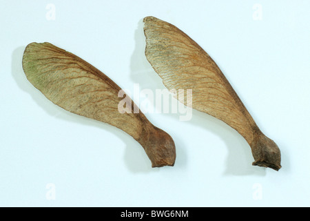 Sycamore, Sycamore Maple (Acer pseudoplatanus), seeds, studio picture.