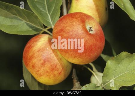 Domestic Apple (Malus domestica), variety: Biesterfelder Renette, fruit on tree. - Stock Photo