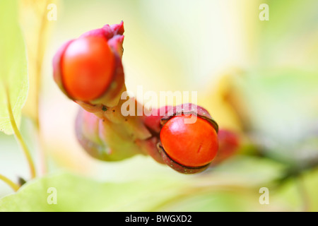 fruit pods in autumn with cobweb and spider - fine art photography Jane-Ann Butler Photography JABP946 - Stock Photo