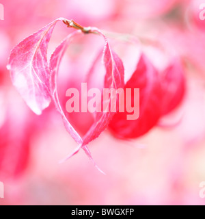 lovely red autumn leaves of the euonymus alatus bush - fine art photography Jane-Ann Butler Photography JABP945 - Stock Photo