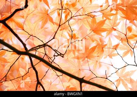 beautiful maple canopy in autumn just before the fall - fine art photography  Jane-Ann Butler Photography JABP948 - Stock Photo