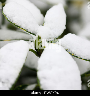 resilient bud surrounded by snow capped acuba japonica leaves - fine art photography Jane-Ann Butler Photography - Stock Photo