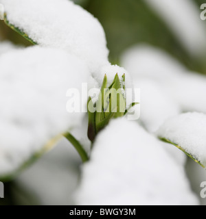 snow capped acuba japonica bud - fine art photography Jane-Ann Butler Photography JABP954 RIGHTS MANAGED - Stock Photo