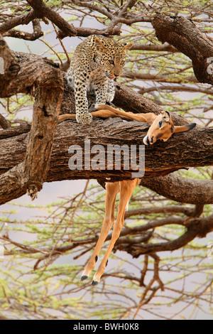 Leopard (Panthera pardus) cub with an Impala (Aepyceros melampus) kill in Samburu National Reserve, Kenya - Stock Photo
