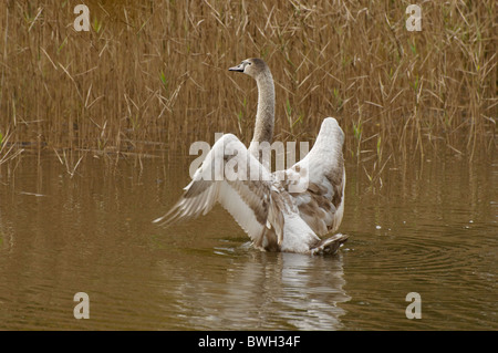 Mute Swan cygnet in a small pool - Stock Photo