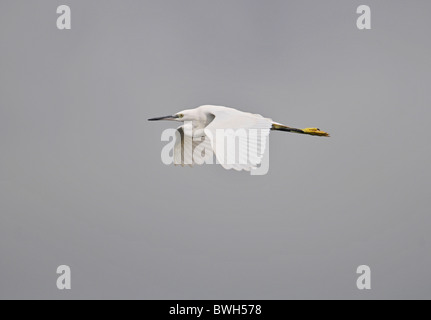 Little egret Egretta garzetta In Flight Summer Uk - Stock Photo