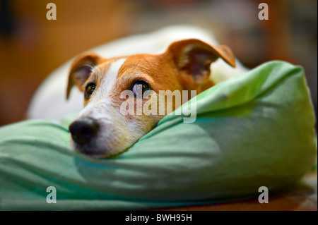 Parson Jack Russell terrier resting on his bed, with selective focus on eyes - Stock Photo