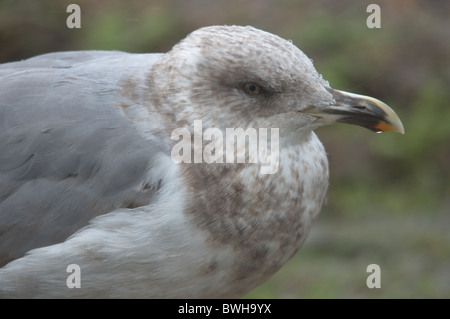 Young Yellow-legged gull (Larus michahellis) - Stock Photo