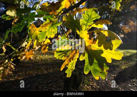 Oak leaves in autumn sunshine - Stock Photo