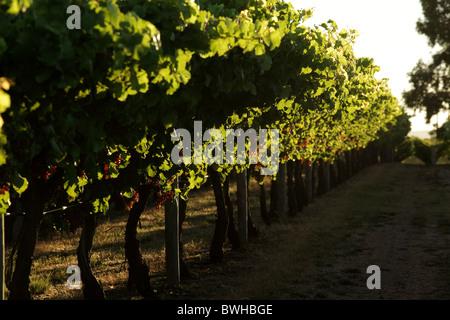 Vineyard Margaret River West australia - Stock Photo