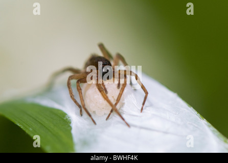 Female nursery web spider with egg sac in jaws - Pisaurina mira or fishing spider - Stock Photo