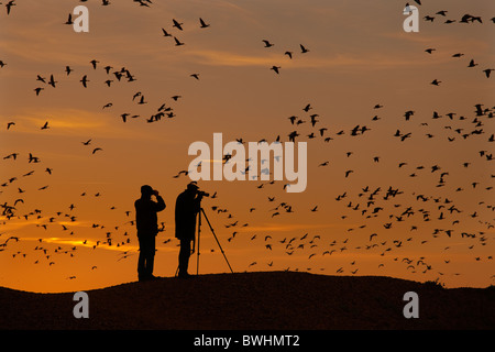 Birdwatchers watching Pink foot Geese Anser brachyrhynchus coming into roost Norfolk at Sunset - Stock Photo