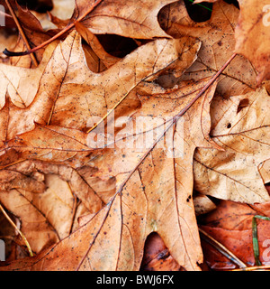 bronzed autumn crispy fallen oak leaves on the woodland floor - fine art photography Jane-Ann Butler Photography - Stock Photo
