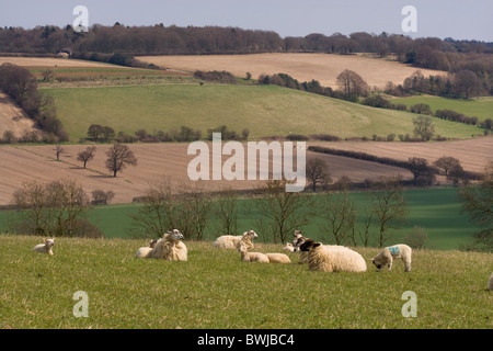 Spring Lambs Upper Gade Valley in the Chiltern Hills Herts - Stock Photo