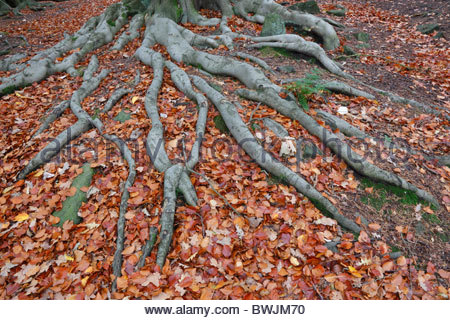 Tree roots and autumn leaves St. Ives Bingley West Yorkshire England - Stock Photo