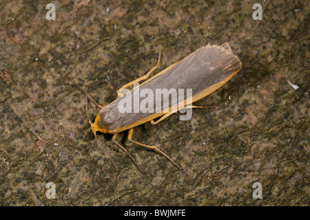 Common Footman, Eilema lurideola moth - Stock Photo