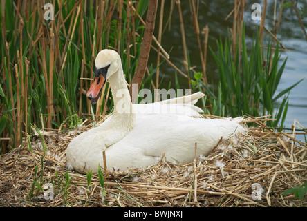 Swan sitting on nest - Stock Photo