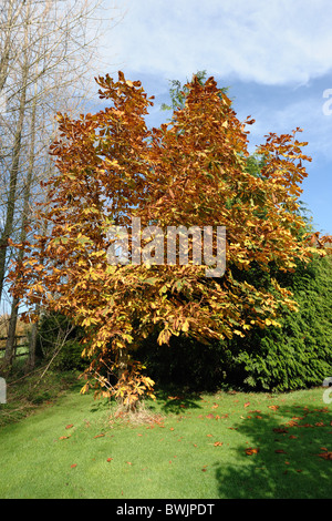 Young horse chestnut tree (Aesculus hippocastanum) in a large garden in full autumn colour - Stock Photo