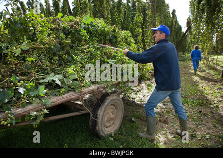 Harvesting of hops (Humulus lupulus) in hop yard in Poperinge, Belgium - Stock Photo
