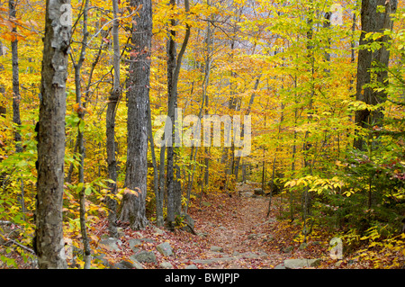 autumn autumn wood inside path way footpath deciduous forest trees Arethusa Falls Trail Crawford Notch State - Stock Photo