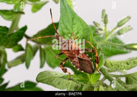Western conifer bug (Leptinoglossus occidentalis) adult - Stock Photo