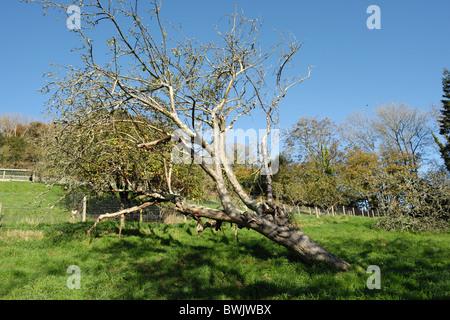 Fallen diseased and dead apple tree killed by honey fungus (Armillaria mellea) - Stock Photo