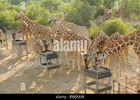 Adults & young giraffe (Giraffa camelopardalis) at feeding station on Sir Bani Yas Island, UAE - Stock Photo