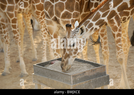 Adult giraffe (Giraffa camelopardalis) at a feeding station on Sir Bani Yas Island, UAE - Stock Photo