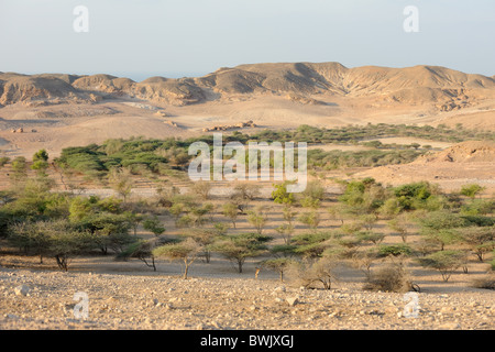 Acacia and other trees irrigated with desalinated water on Sir Bani Yas Island Nature Reserve, UAE - Stock Photo