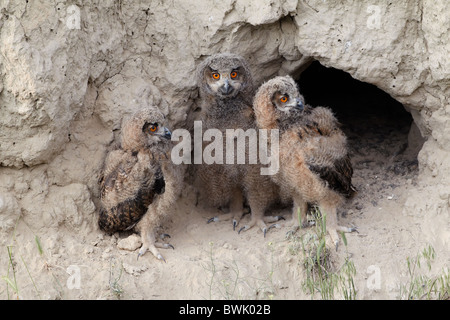 Eagle Owl chicks at nest Uhu Jungvögel am Nest - Stock Photo