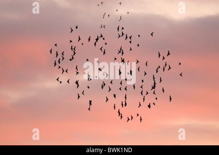 A gathering staring flock against a red sky at sunset, Brandon Marsh, Warwickshire - Stock Photo