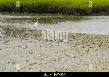 The Great Egret bird, Great White Heron (Ardea Alba), stands at the edge of a muddy saltwater marsh wetlands stream. - Stock Photo