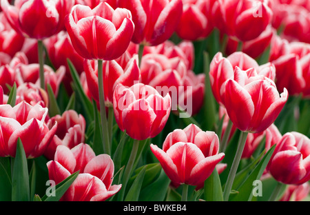 Flower bed of red tulips. - Stock Photo