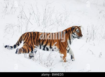 A sibirian tiger walking in snow.Orsa.Sweden