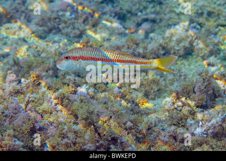 striped red mullet in shallow waters - Stock Photo