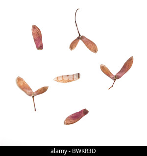 Japanese Acer winged seed pods isolated on white background. - Stock Photo