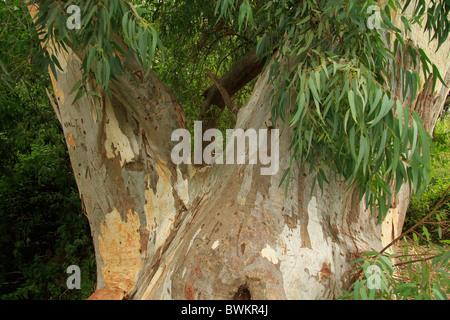 Israel, Menashe Heights, Eucalyptus tree in Nahal Shelef - Stock Photo