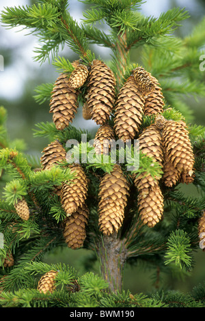 Common Spruce, Norway Spruce (Picea abies), twigs with cones. - Stock Photo