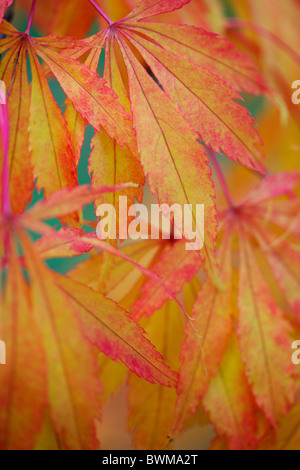colourful koto no ito japanese maple in the fall Jane-Ann Butler Photography JABP928 - Stock Photo
