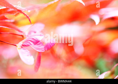 atmospheric and dreamy red maple tree with winged samaras Jane-Ann Butler Photography JABP914 - Stock Photo