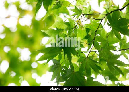 atmospheric and dreamy maple tree with winged samaras Jane-Ann Butler Photography JABP917 - Stock Photo