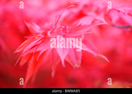 atmospheric and dreamy red maple tree, rich and abundant - fine art photography Jane-Ann Butler Photography JABP926 - Stock Photo