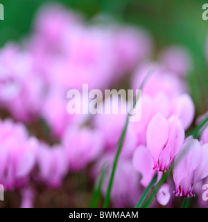 pretty cyclamen hederifolium Jane-Ann Butler Photography JABP925 - Stock Photo